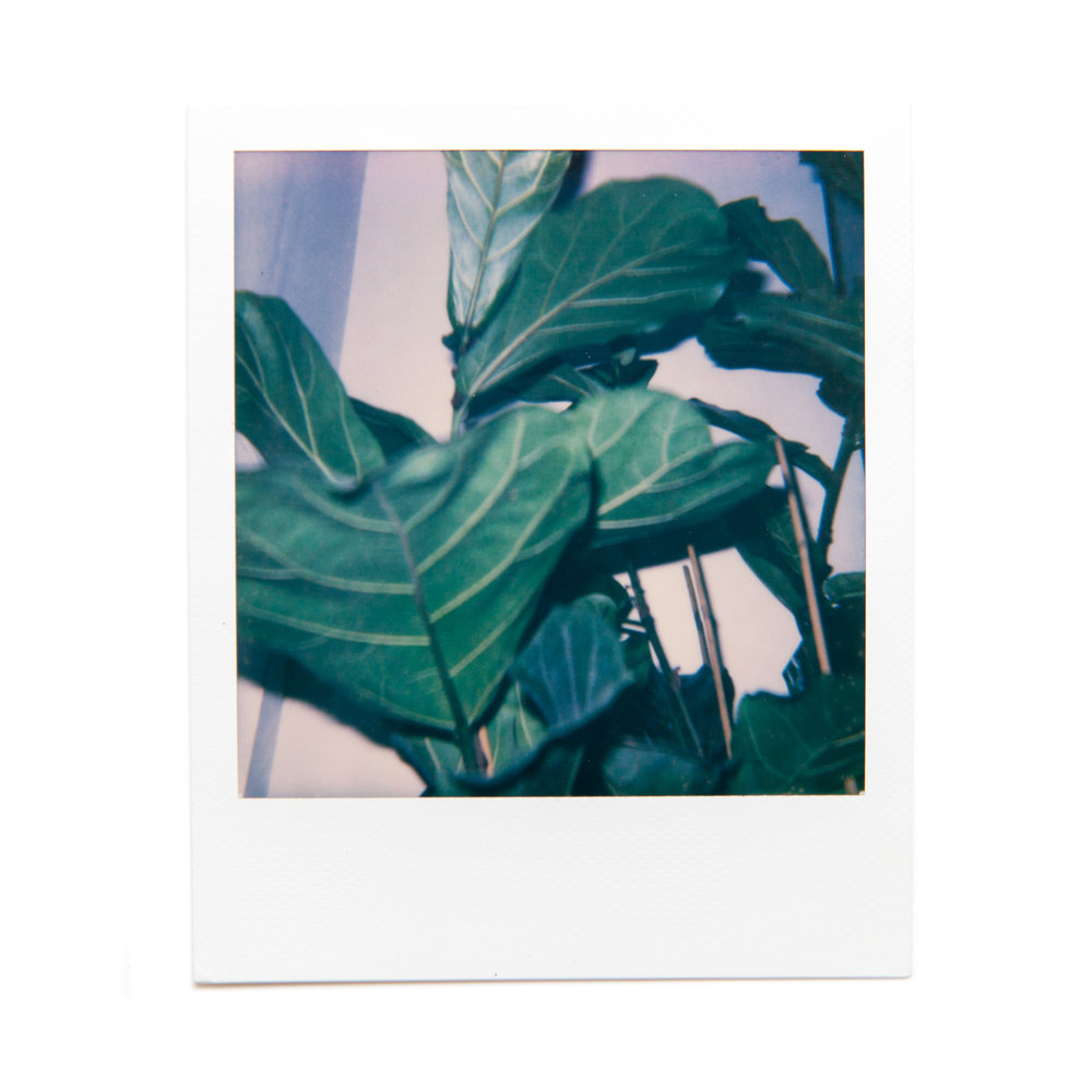 karina cruz, fiddle leaf, 2016. polaroid film.
