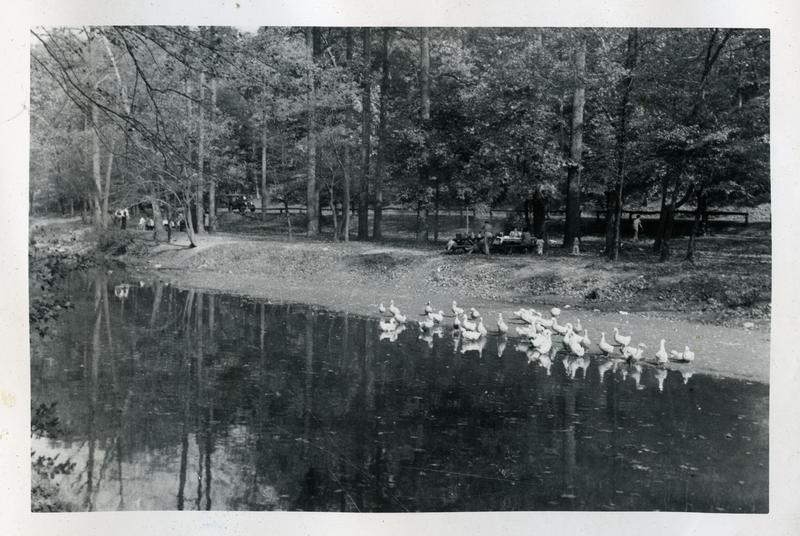 Ducks feeding in Rock Creek Park near Pierce Mill, ca 1948