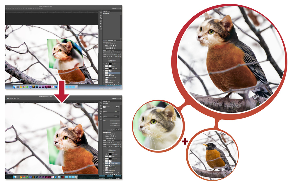 BALD CAT-ROBIN: It's interesting to fuse animals that are natural enemies together. When creating animal fusions it's best to shoot the photos with the animals in a similar position and with lighting that is consistent between each photograph. Doing these things makes the workflow when you fuse them together in Photoshop much easier. (Left) After placing a cut-out of the cat over where I want it to be fused, I created a mask on the cat layer so I could blend the two layers together using a soft brush tool. Making the orange feathers and the cat's fur blend was a challenge.