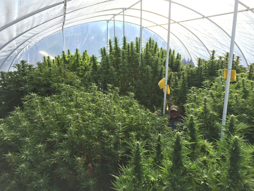 Our very first Medical grow behind our house.