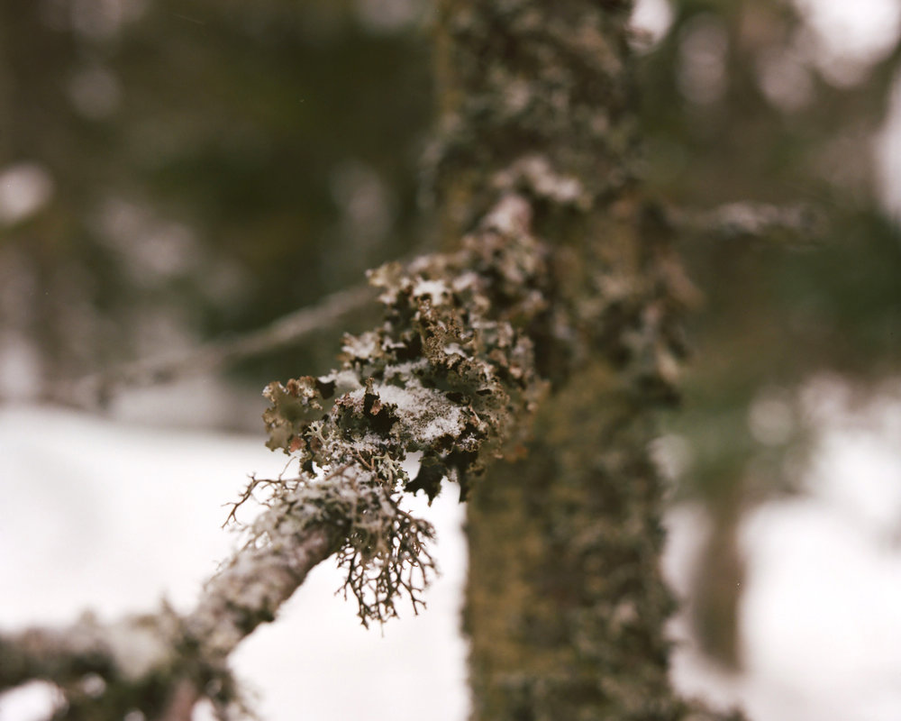 Lichen is an indicator of air quality. This leafy lichen, photographed in Finland near the borderzone with Russia, is leafy and indicates that the air was very clean.