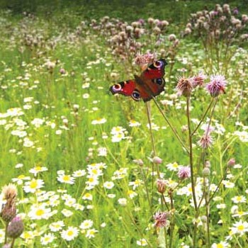 wildflower-and-butterfly-land.jpg