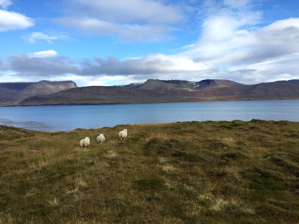 westfjords sheep