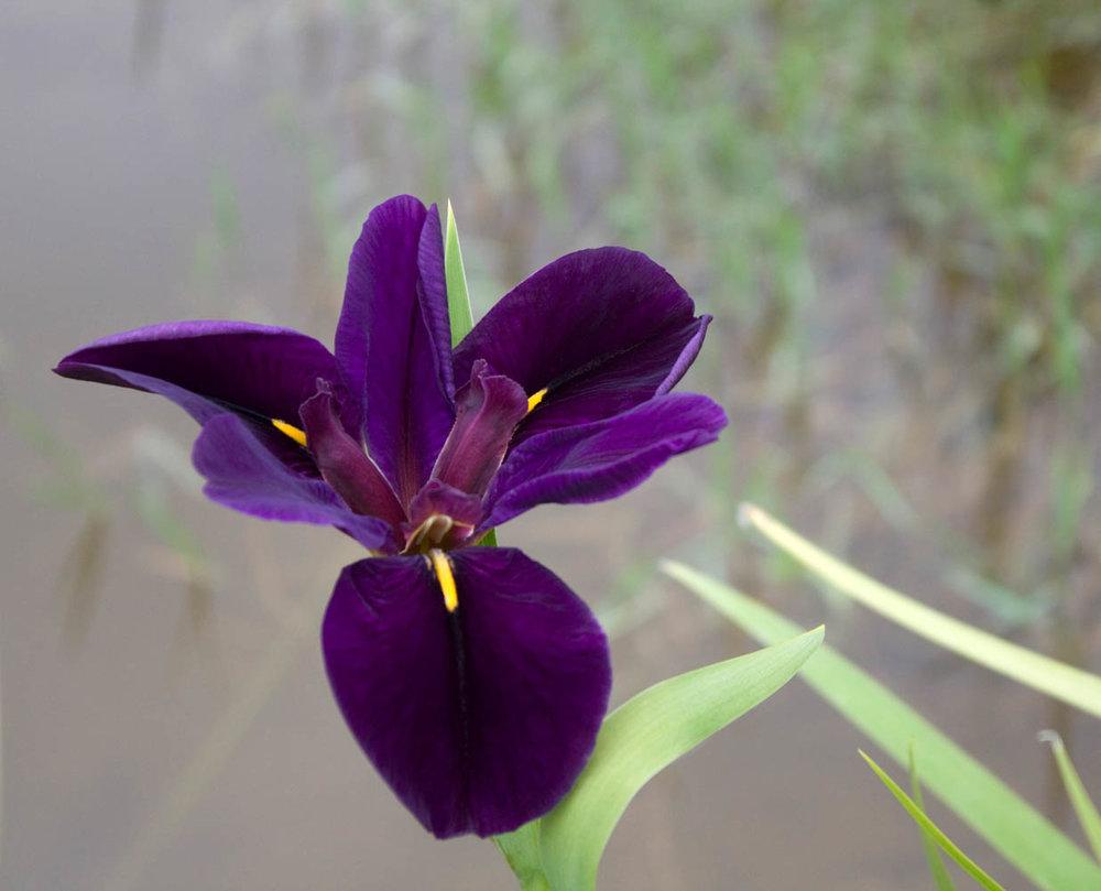 Pond Iris 1-2.jpg