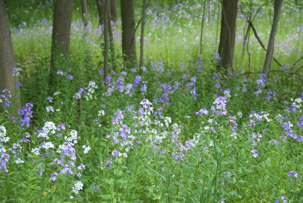 Field of Wild Phlox.jpg