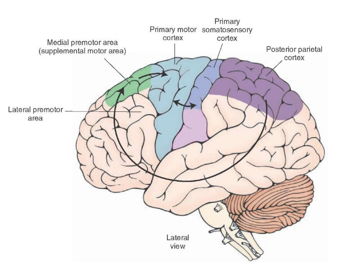 pre-motor cortex what-when-how.com .jpeg