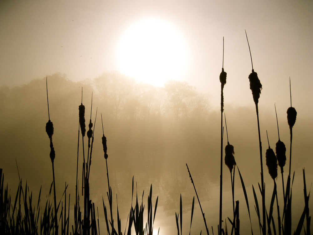Cattails in the Mist.jpg