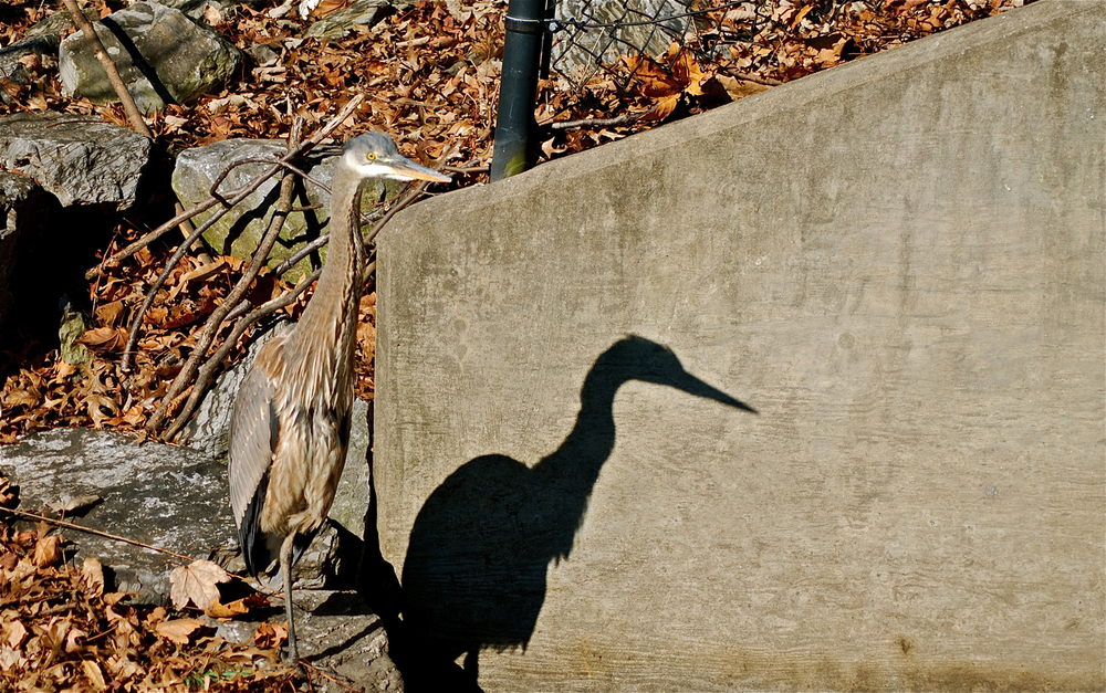 Shadow of a Blue Heron