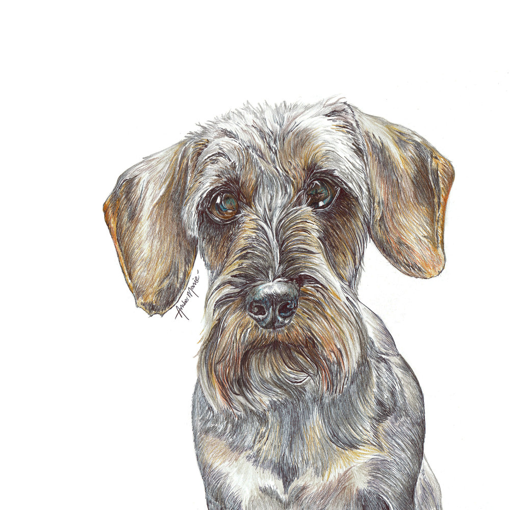Wabe Wirehaired Daxie watermarked.jpg