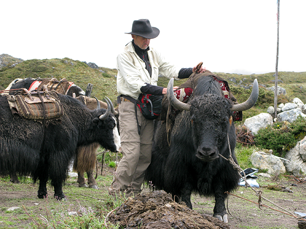 Loading up a yak with stealth cameras while searching for a yeti in Nepal