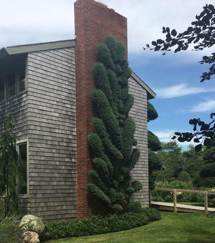 A spectacular Blue Atlas Cedar on the House Chimney