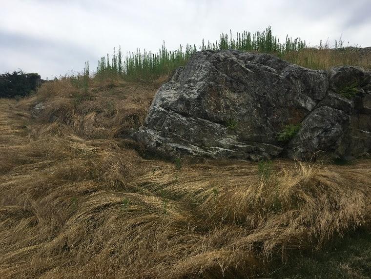 ... left to grow long like salt marsh hay.
