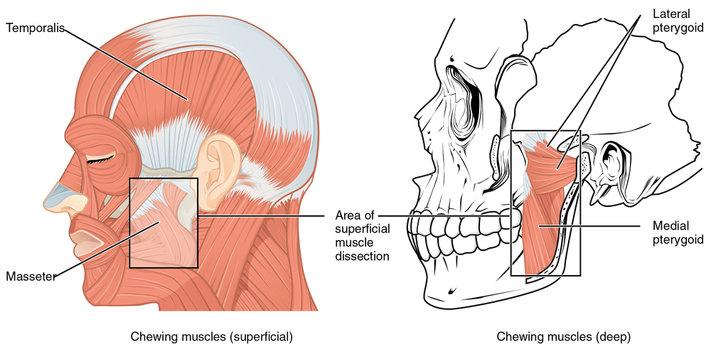 Muscles of Mastication Source: https://commons.wikimedia.org/wiki/File:1108_Muscle_that_Move_the_Lower_Jaw.jpg