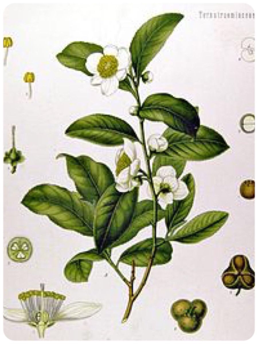 The Camellia Sinensis plant with leaves, flowers, and seed pods