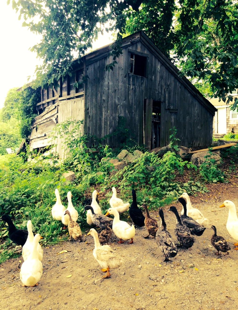 Ducks on Ryder Farm