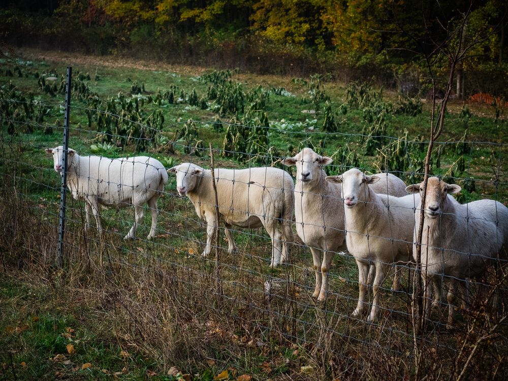 Sheep on Ryder Farm