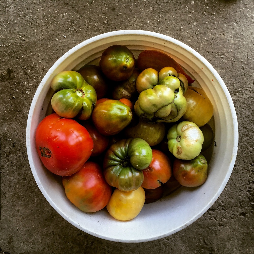 August is heirloom tomato season at Ryder Farm