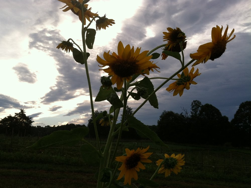 Weird sunflower in a not-so-sunny sunrise. Good morning. :)