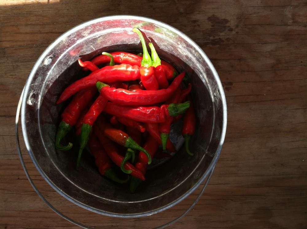 The hot peppers are coming. These are 'Red Rocket,' which are great for drying, and so will also be in the share this winter. The 'Thai Long' are just coming on with the 'Chinese Five Color' (that you see as the potted ornamental just outside the farmstand), followed by a red ('Hot Paper Lantern') and orange ('Helios') Habanero type, then a 'Lemon Drop' yellow, and some 'Thai Short.' I know not everyone likes hot peppers. But I do! :)