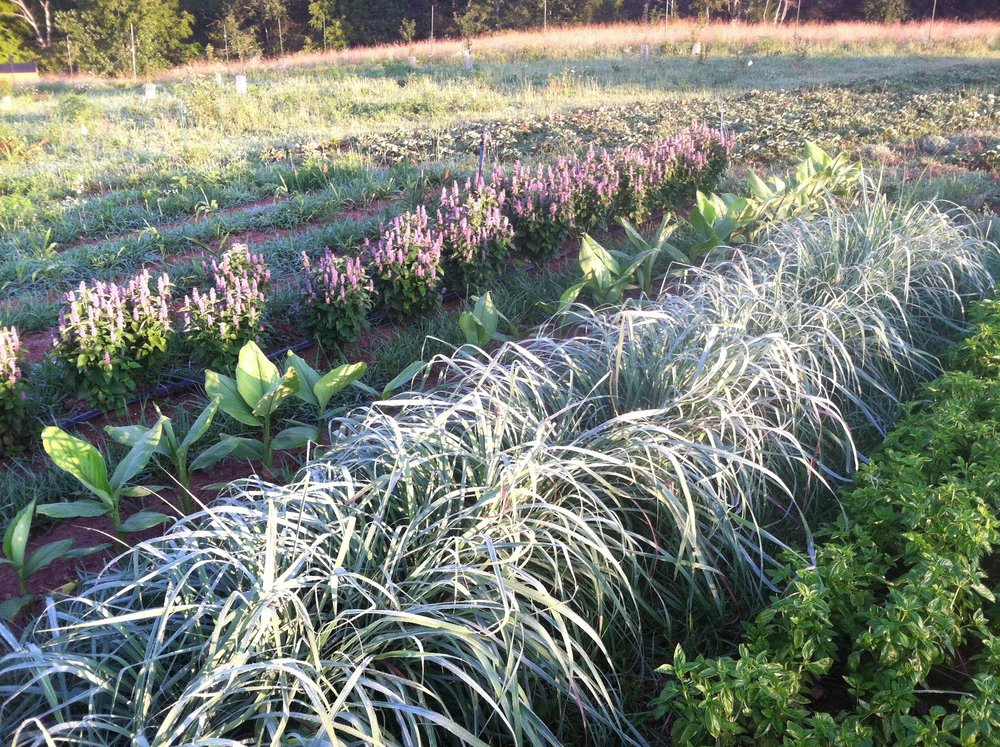 l-r update: Anise Hyssop, Turmeric, Lemongrass, and Italian Basil sizing-up, with a bit of morning dew.