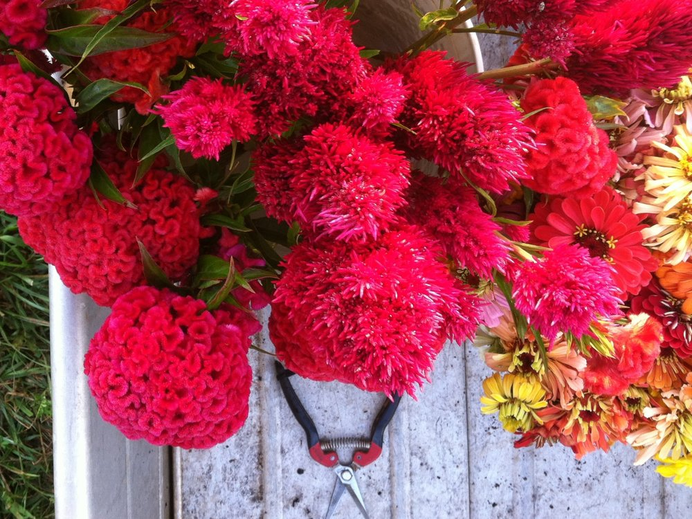 Brains for breakfast. Celosia sizes-up a bit.