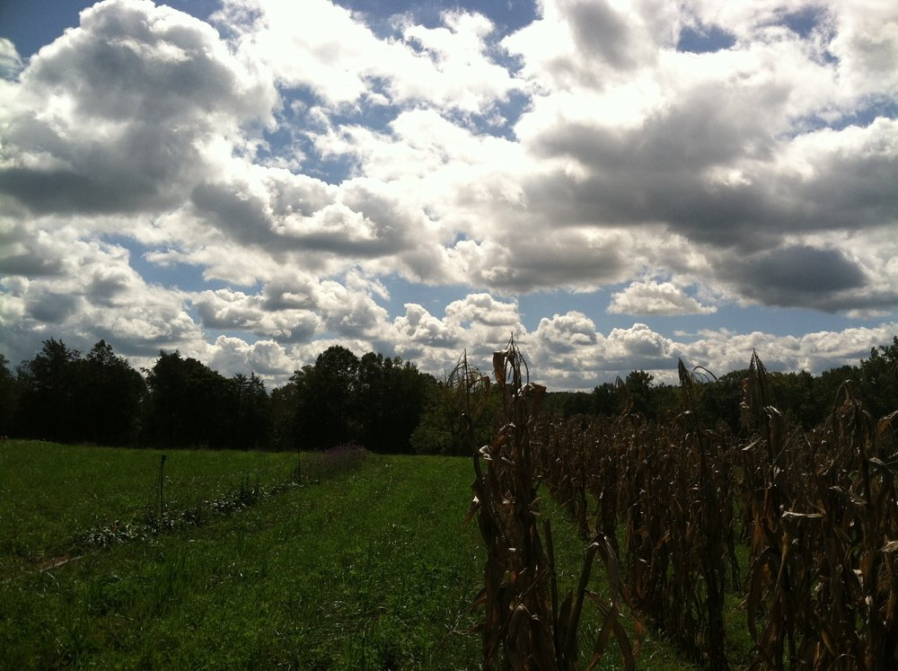 Clouds and corn stalks. It's good lignified biomass for the fields, but I will be cutting some of the cornstalks to add to the 'Flower' part of the CSA.