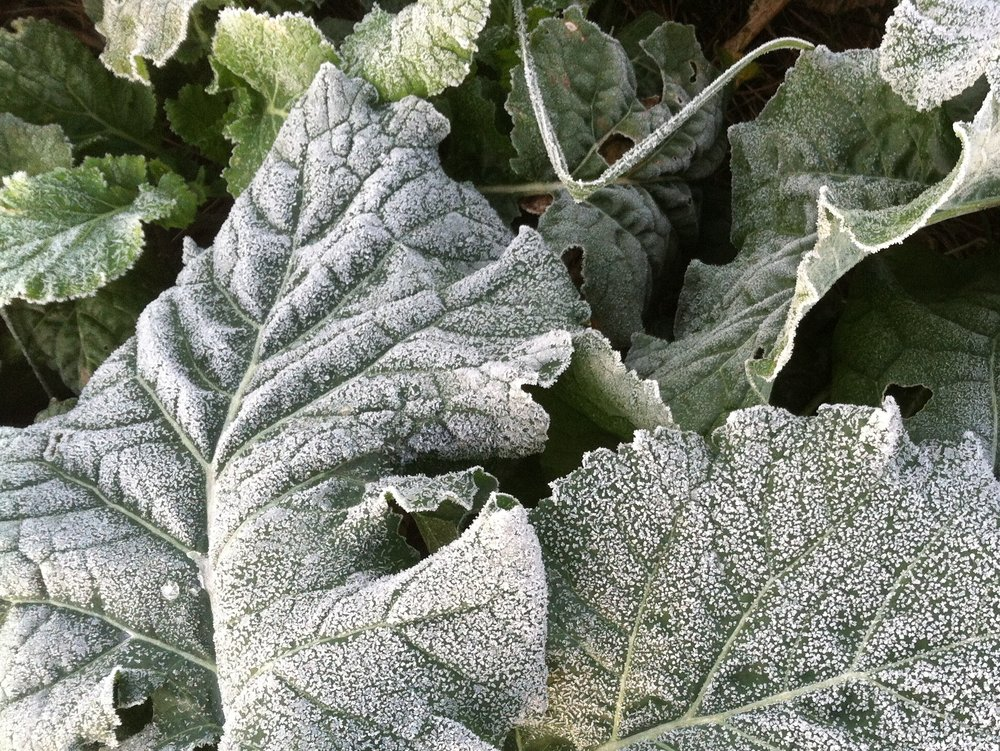Rutabaga likes the frost, getting sweeter as the winter proceeds.