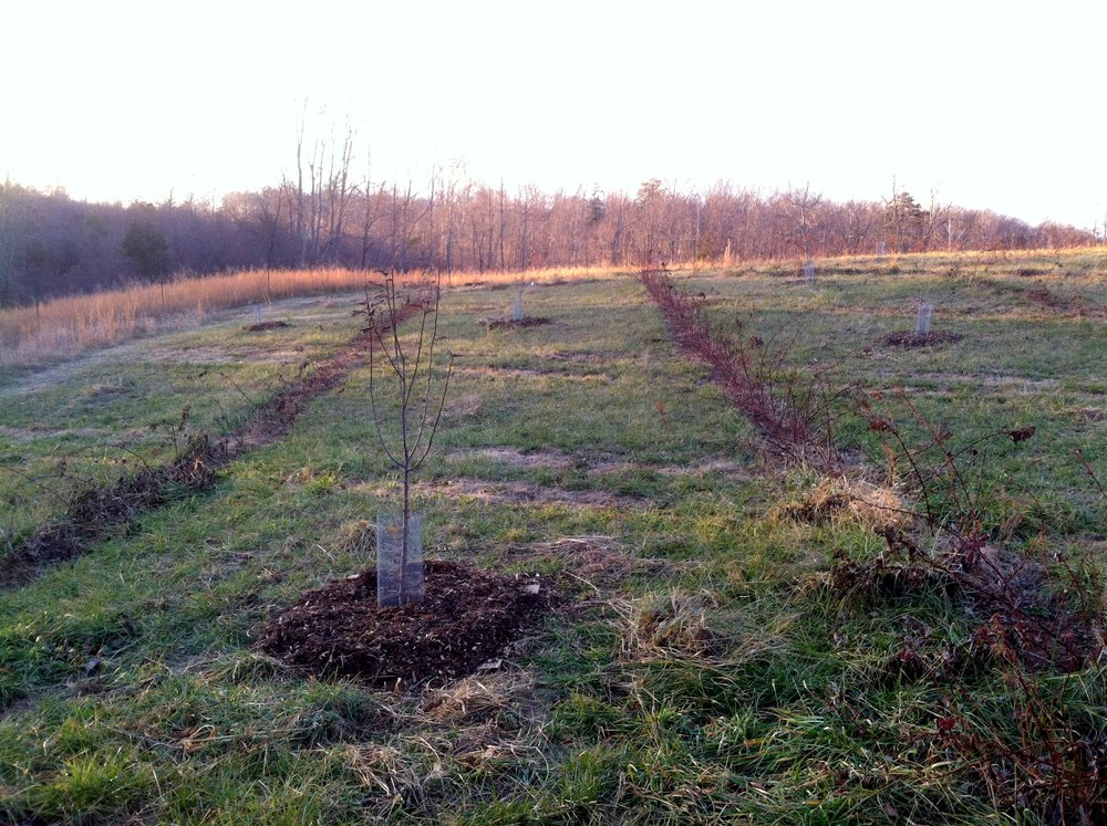 Fruit trees weeded and mulched, raspberries waiting.