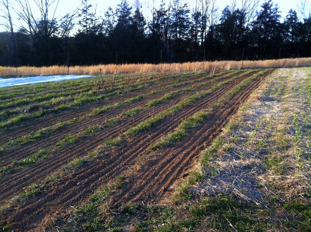 "Before the snow fell, and while the tractor was away, I prepped some beds, then planted the milky oats, a first bed of spring spinach, and the early umbeliferous herbs -- dill, cilantro, parsley, and cutting celery. The cilantro, ""pokey Joe,"" is a chef taste-test winner I am excited to have on the farm this year. Also note, to the right, the garlic as it comes in."