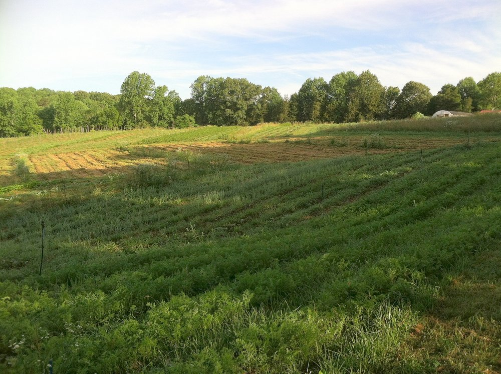 A pretty morning, out to pick beans. Carrots in the right foreground start to engorge their roots. The onions, behind them, are day-length sensitive in their bulbing, and so are collecting sunlight and top-size at this point.