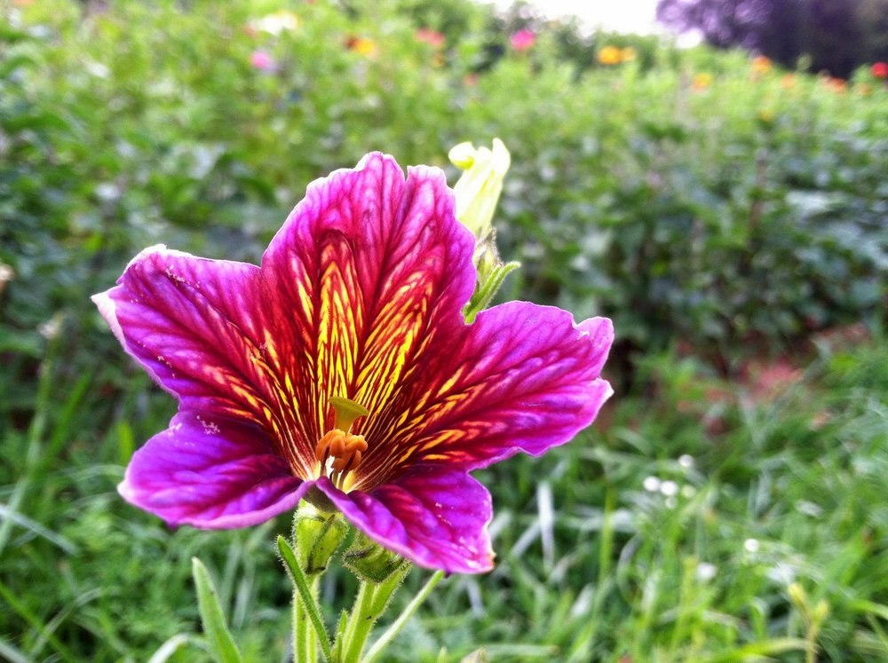 Salpiglossis . So pretty in the catalogs, and so pretty in the field ... but also so few. I won't be planting this one again, but do enjoy if you happen to get the one or three that make it out of the field.
