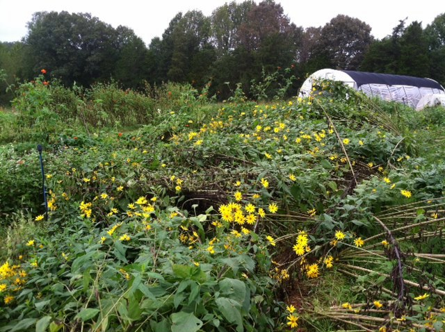 Heavy winds, tall plants, big mess. :) The Jerusalem artichoke do their late summer thing.