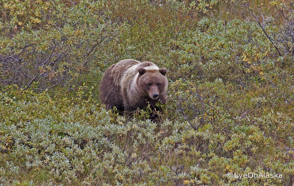 Bear #1, Denali NP.