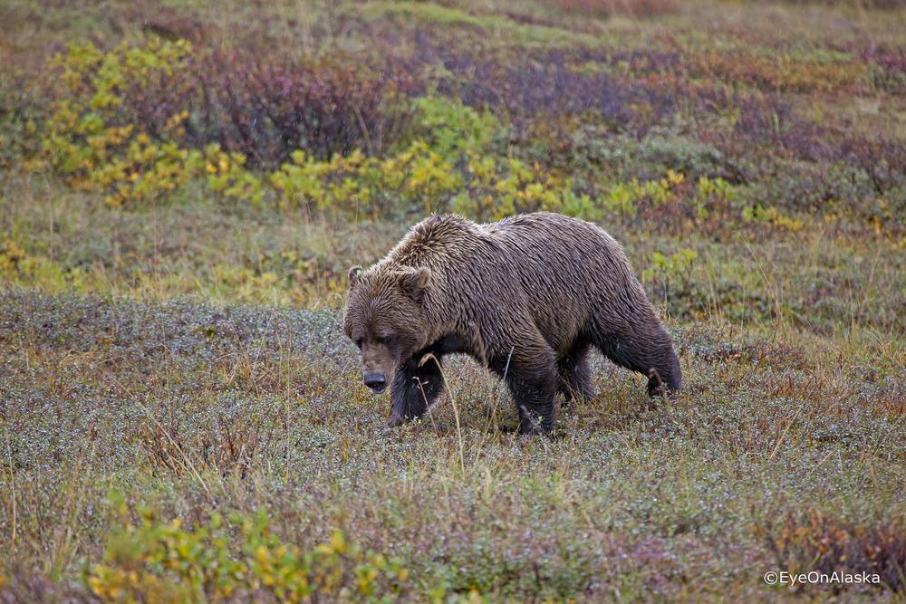 Bear #2, Denali NP