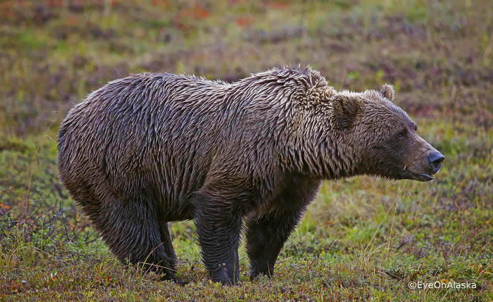 Bear #3, Denali NP