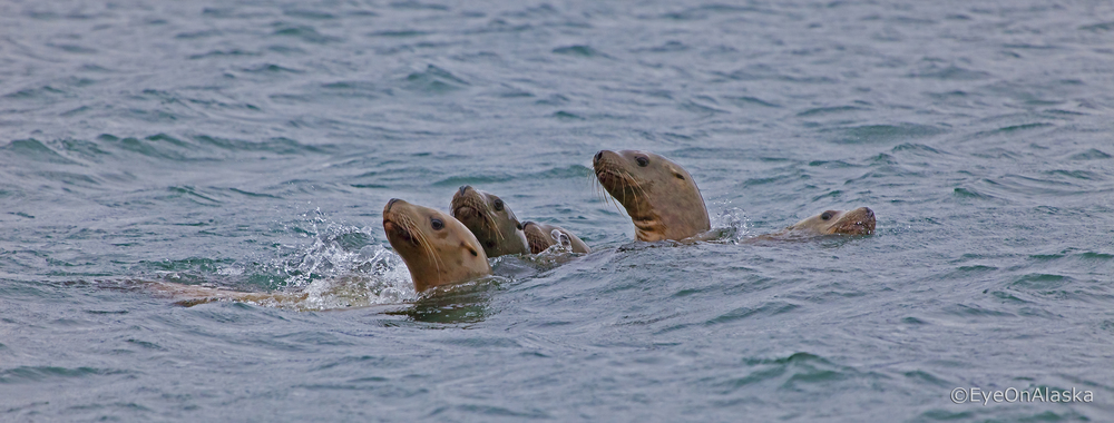 Sea lion family, Seward AK.