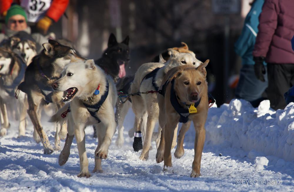 Iditarod Sled dogs #3