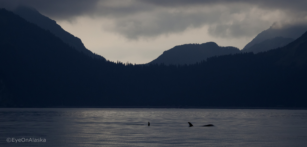 Orcas, Kenai Fjords NP.