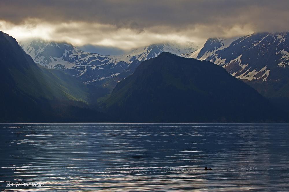 Sea otter, Seward AK.