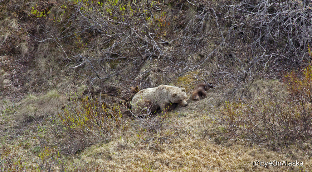 Brown bear sow with 2 cubs, Denali NP
