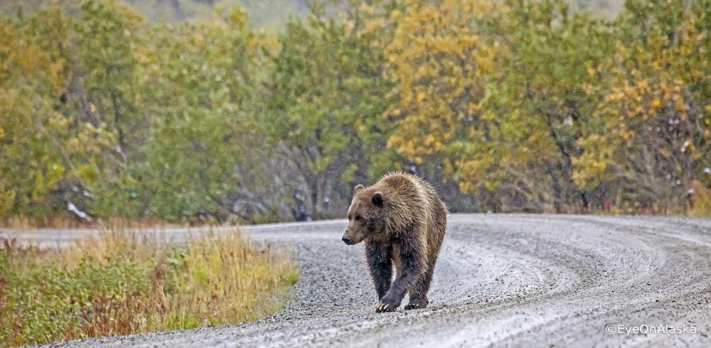Denali Bear #4