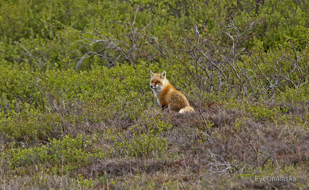 Fox in Denali NP #2
