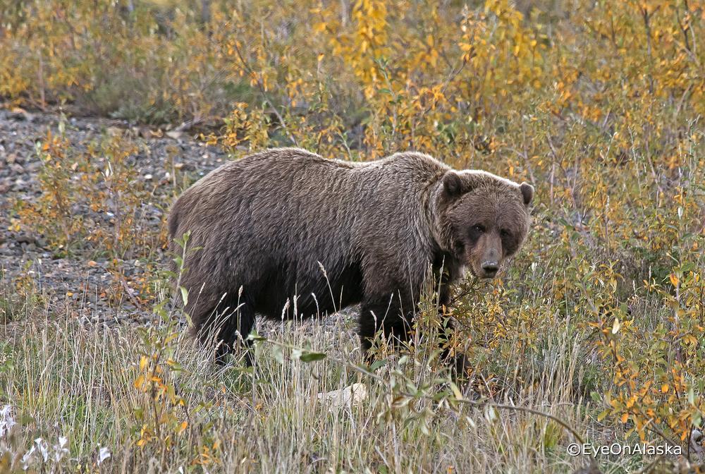 Denali Bear #5