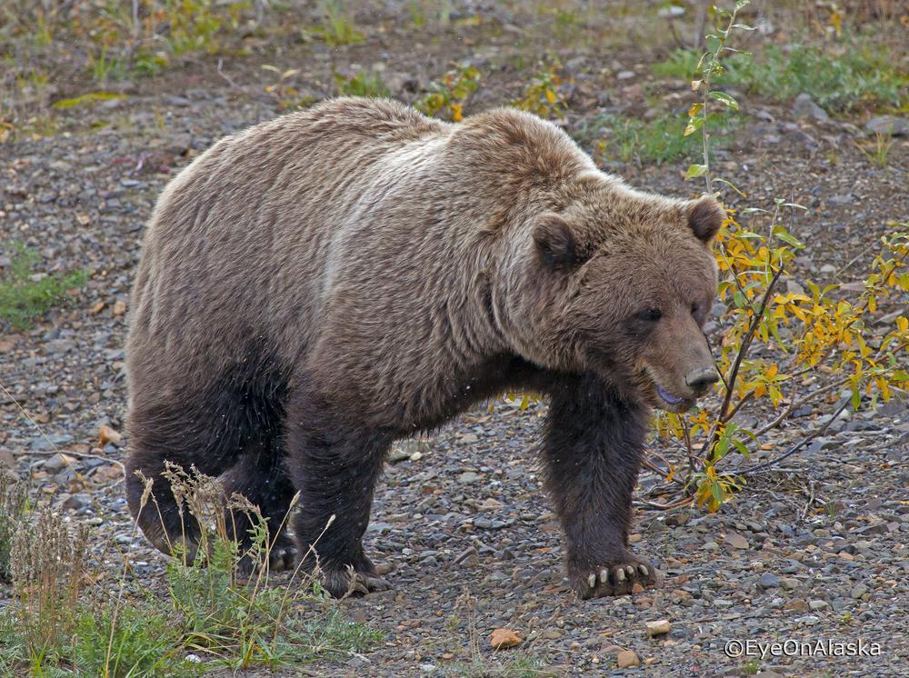 Denali Bear #7