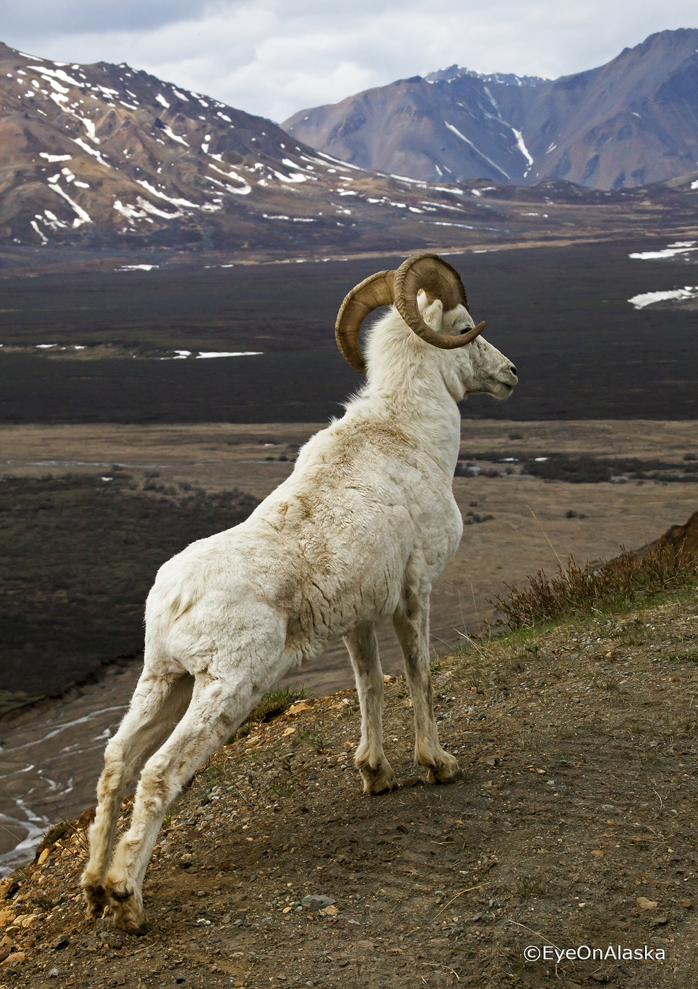 Dall Sheep stretch, Denali NP