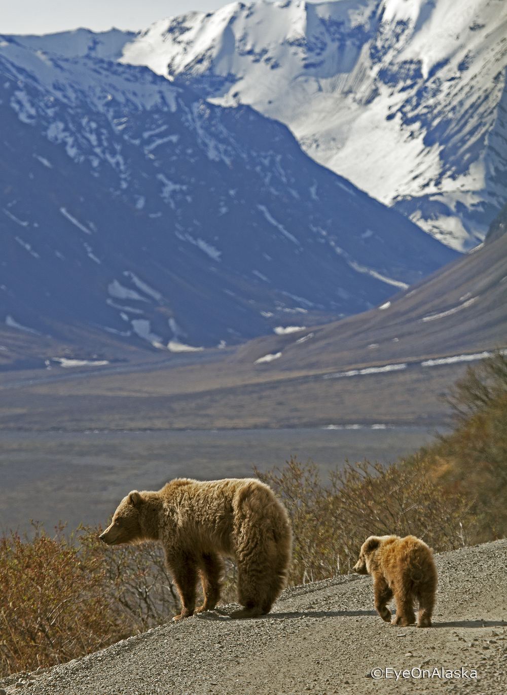 Mama Bear and Cub, Denali NP.