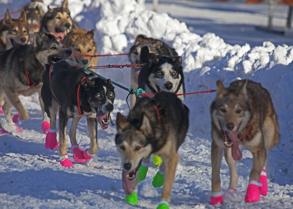 The 2015 Iditarod Ceremonial Start.  Good dogs!