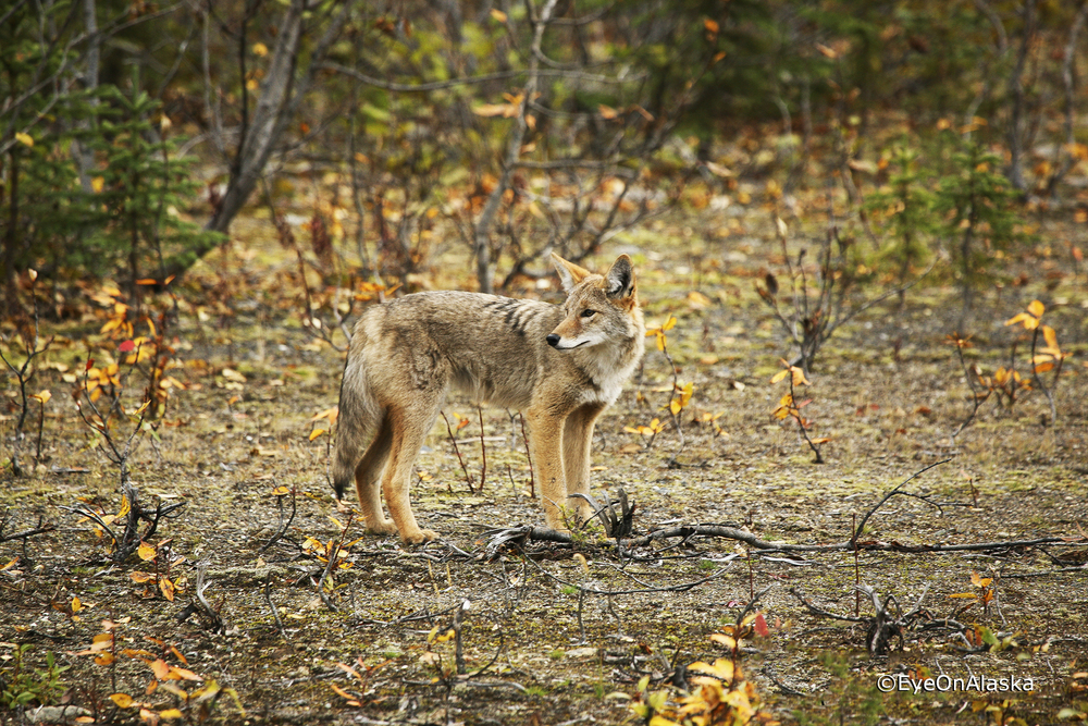 Coyote along the Parks Highway.