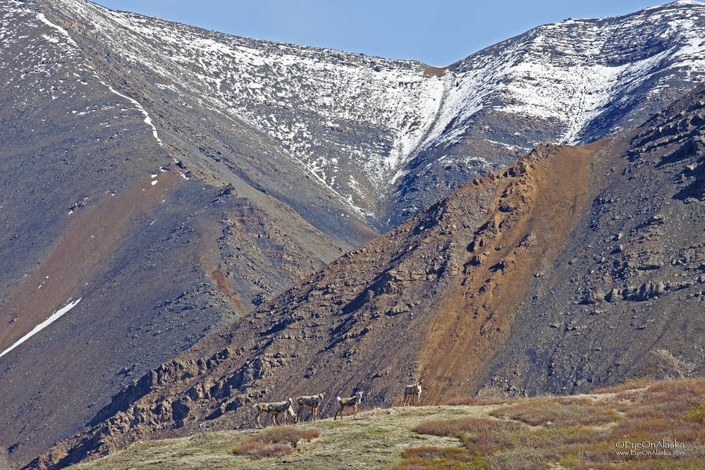Caribou on the ridge
