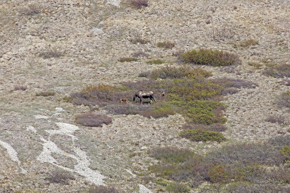 Mama Moose and twins